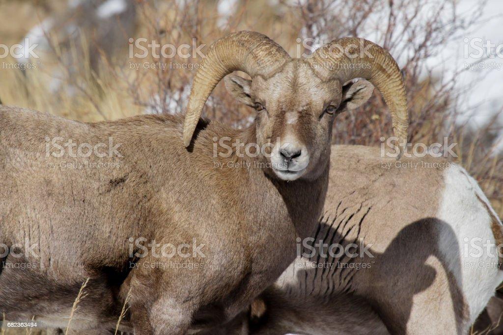 Colorado Rocky Mountain Bighorn Sheep royalty free stockfoto