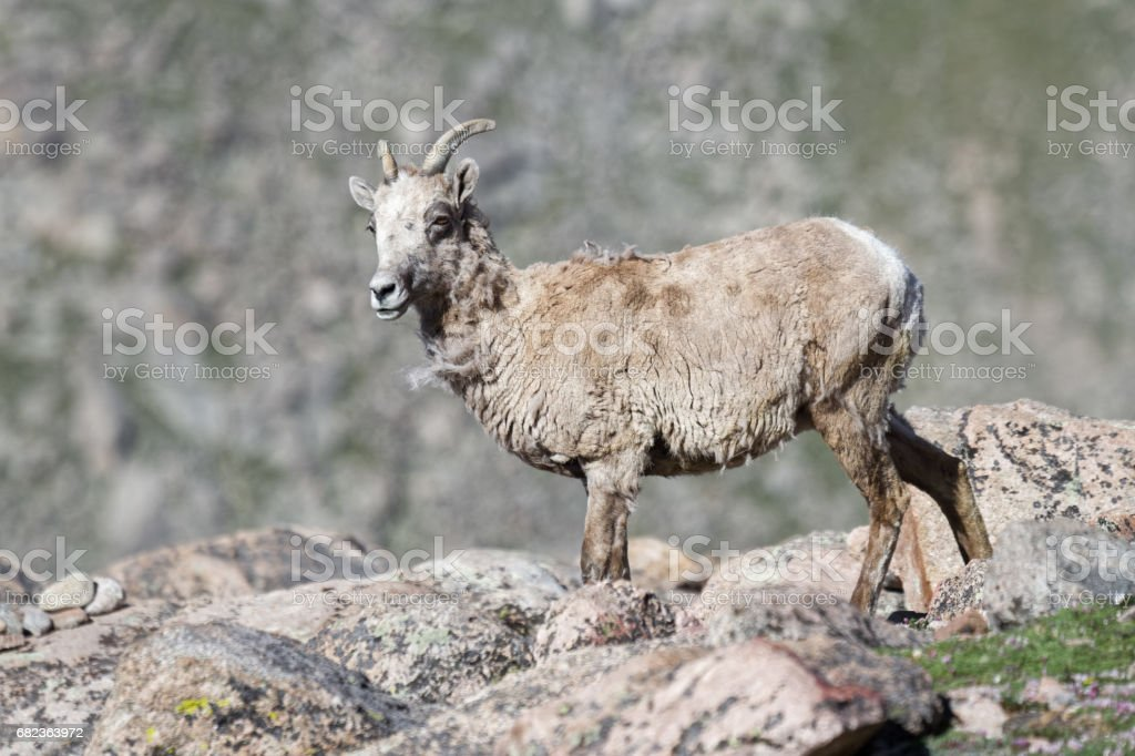 Colorado Rocky Mountain Bighorn Sheep foto stock royalty-free
