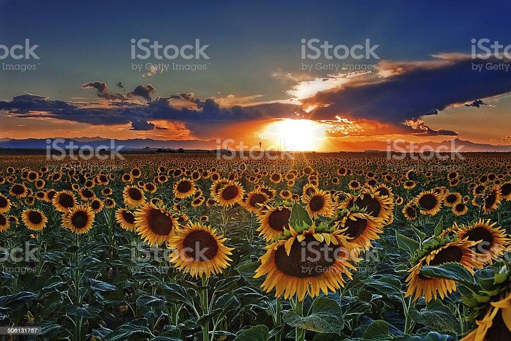 Colorado campos de girassol - foto de acervo