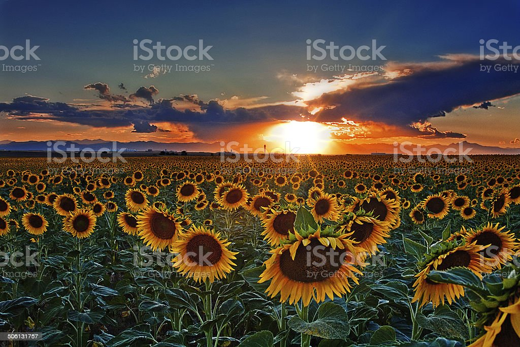 Colorado Sunflower Fields stock photo
