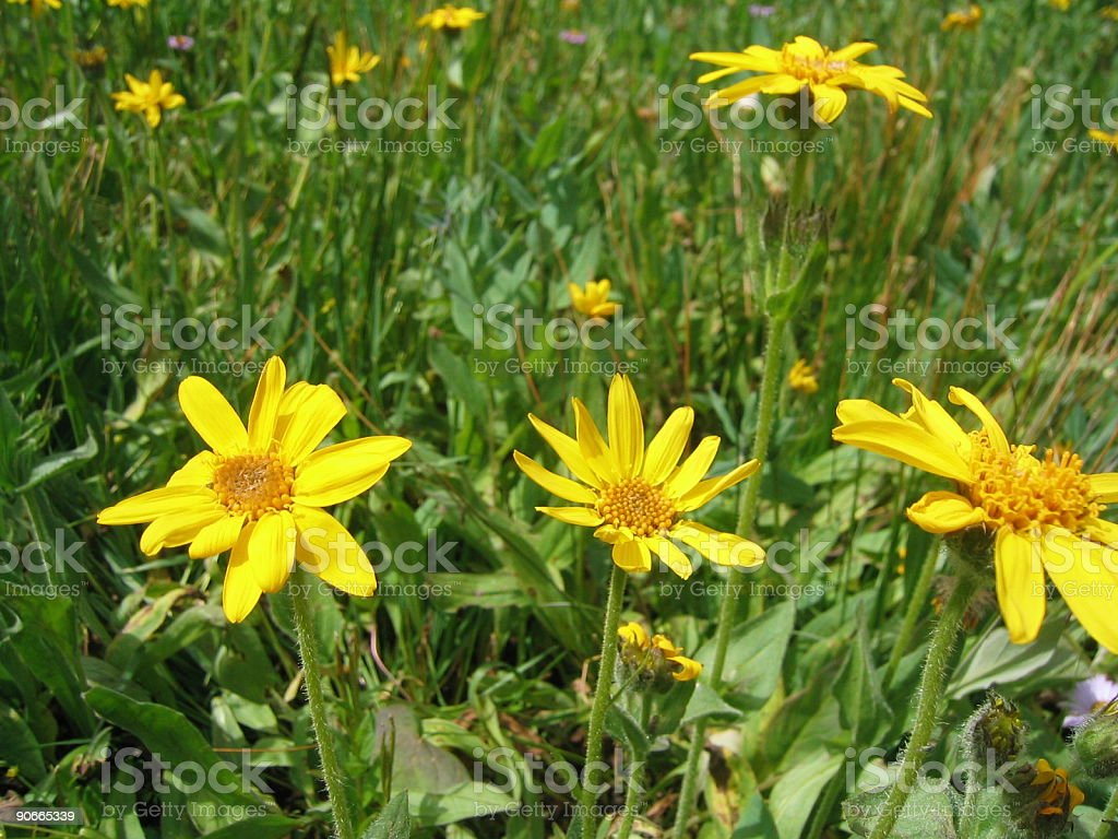 Colorado Wildflowers royalty-free stock photo