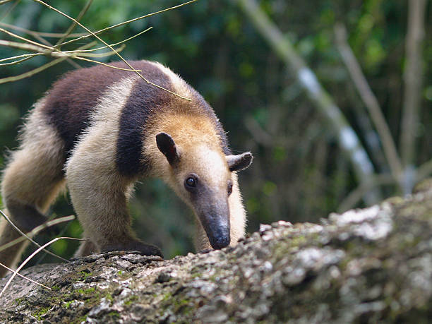 Colored Anteater stock photo