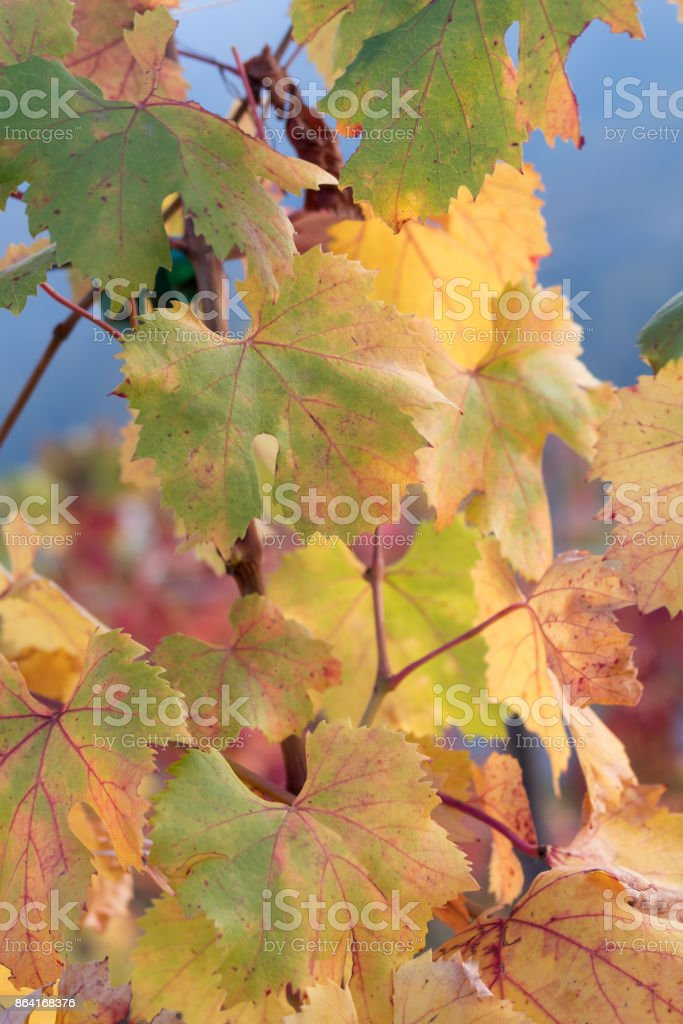 Colored autumn leaves royalty-free stock photo