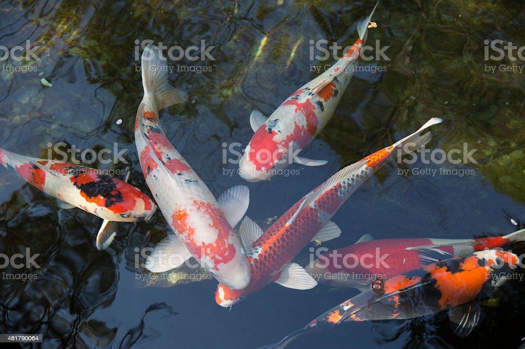 Colored carp stock photo
