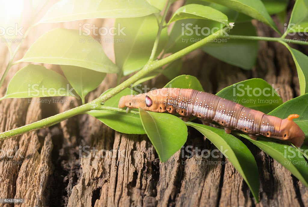 Colored caterpillar or Brown worm, Daphnis nerii eating leaf stock photo