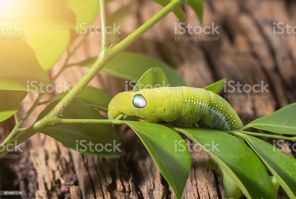 Colored caterpillar or green worm, Daphnis nerii eating leaf stock photo