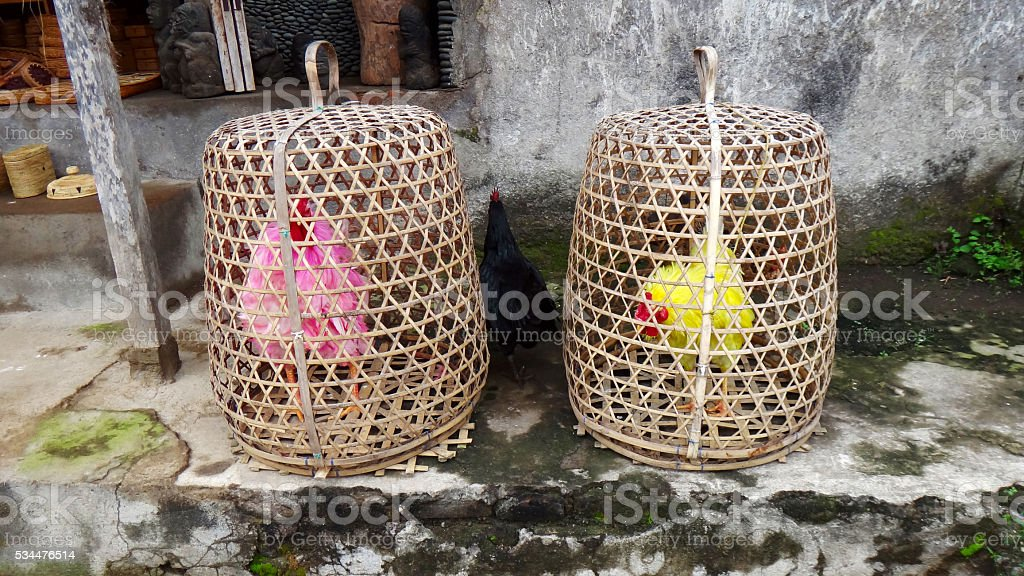 Colored cocks. Bred for fighting are kept in the baskets stock photo