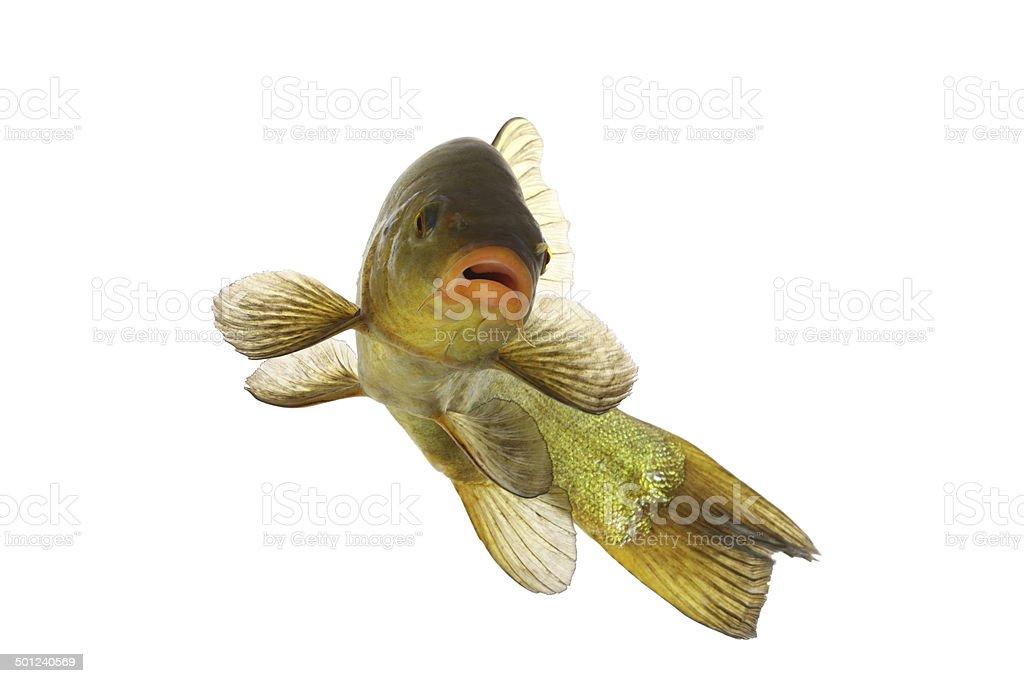 colored fish swimming free, carp, tench stock photo