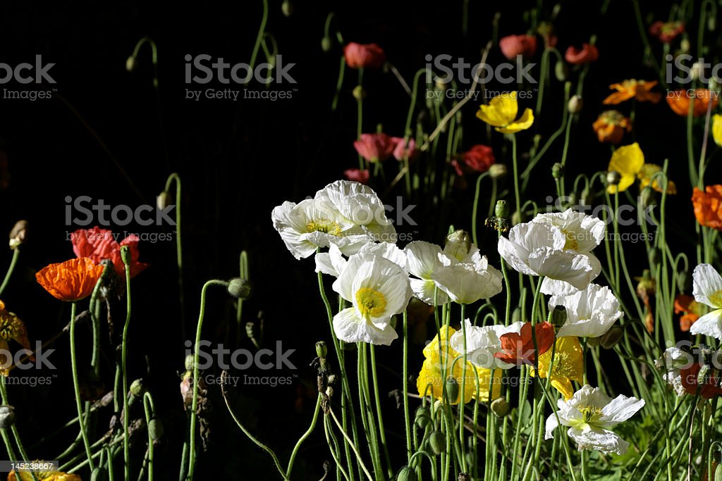 colored flowers royalty-free stock photo