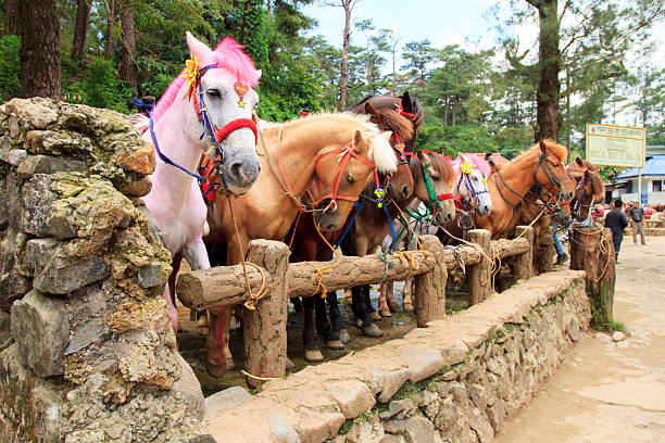 colored horses - baguio city stock photos and pictures