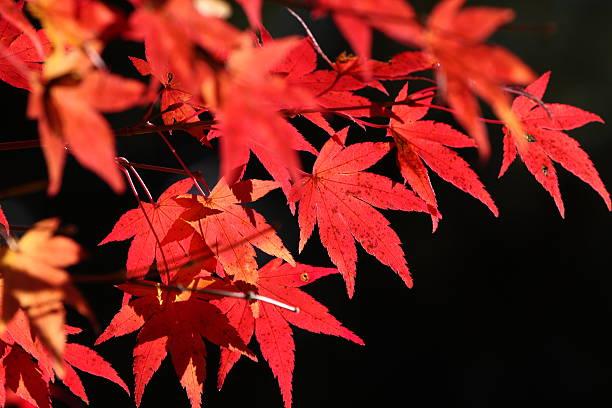 色のメープルの葉 ストックフォト