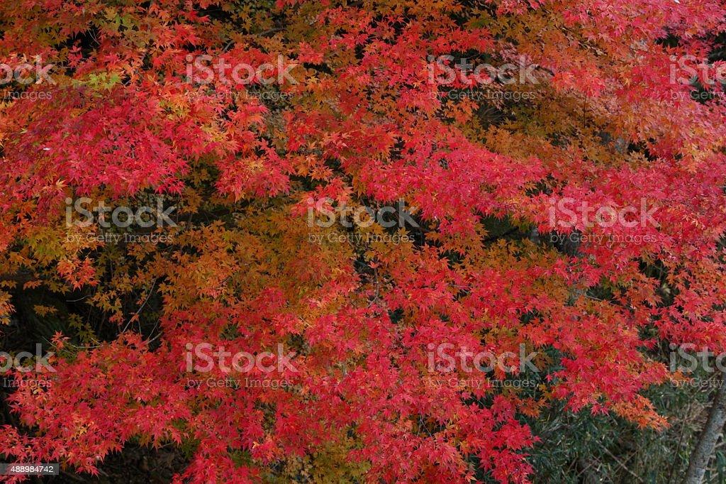 色のメープルの葉 ロイヤリティフリーストックフォト