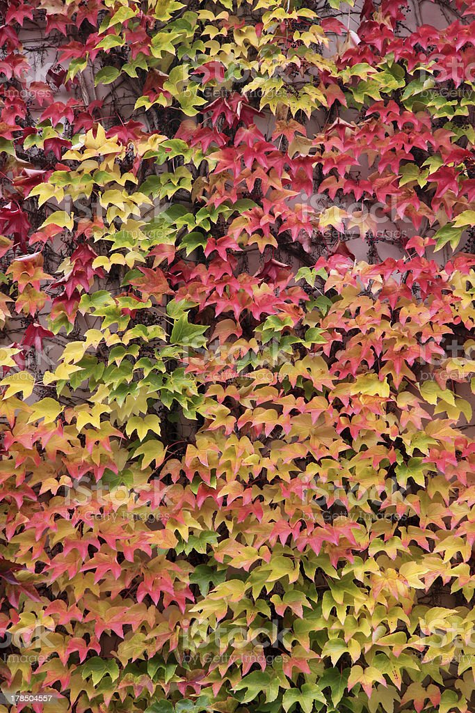 Colored leaves of the wild vine in autumn stock photo