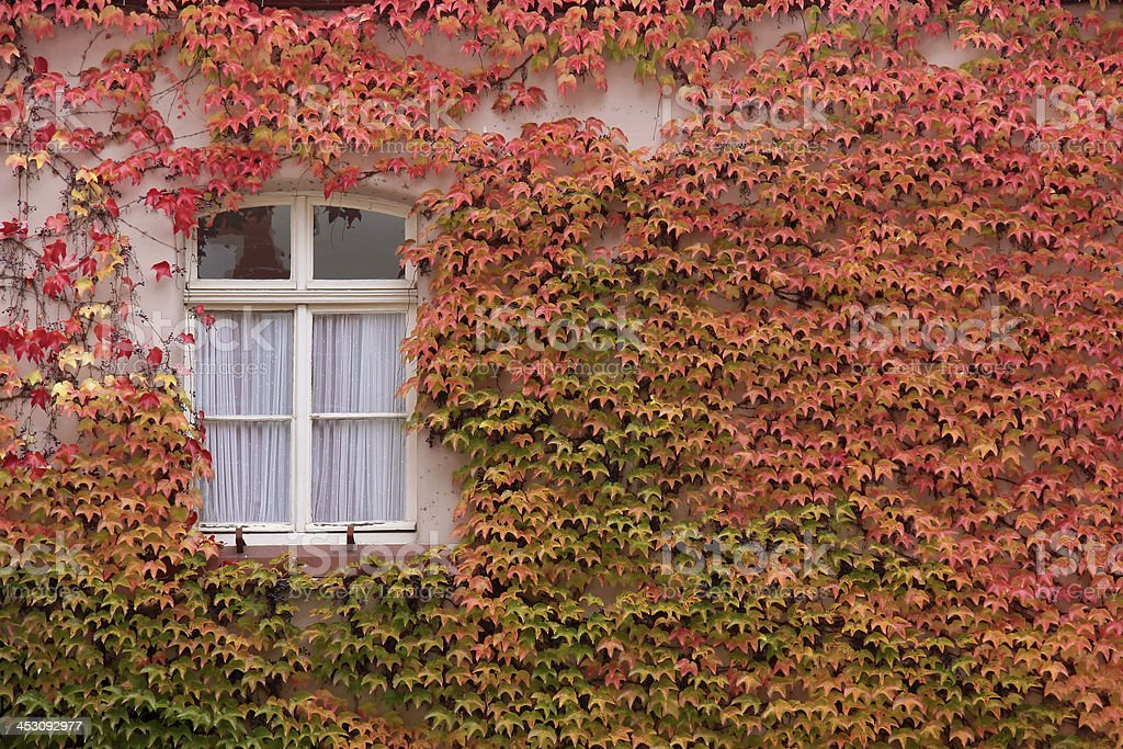 Colored leaves of the wild vine on house wall stock photo