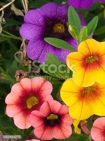 These are multiple colored morning glory's.