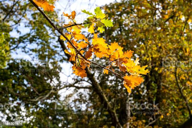 Photo of Colored oak leaves early autumn with sunshine from behind