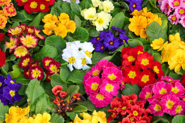 colored primroses in a Dutch nursery many colored primroses in a Dutch nursery primula stock pictures, royalty-free photos & images