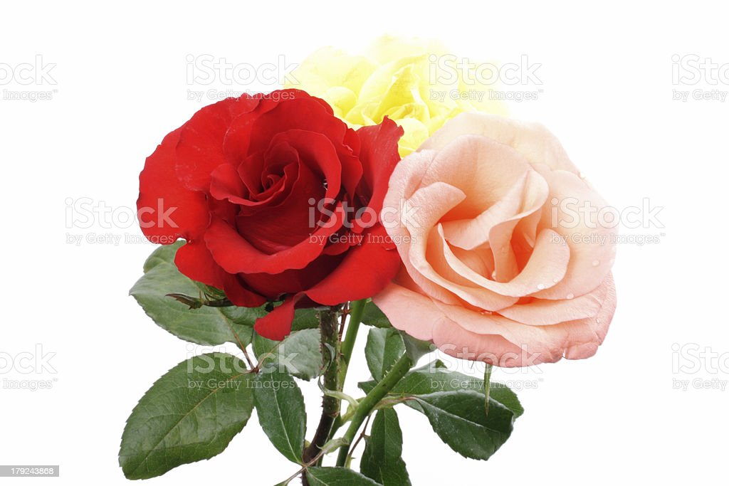 Colored roses royalty-free stock photo