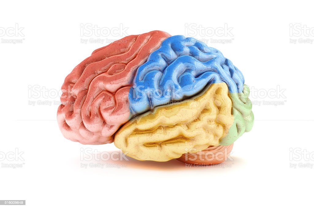 Colored sections of a human brain on a white background stock photo