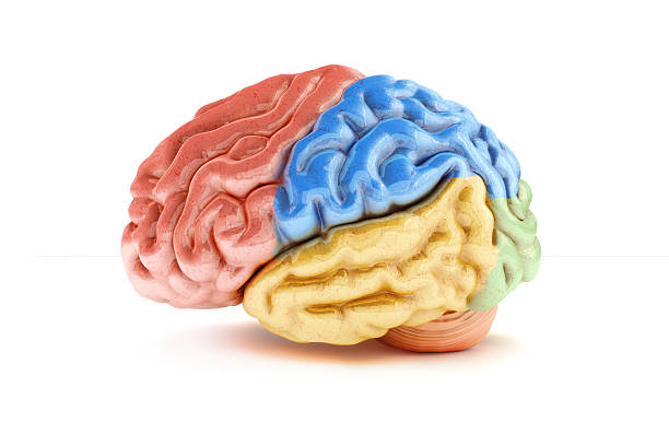 Colored sections of a human brain on a white background Colored sections of a human brain on a white background. Part of a medical series temporal lobe stock pictures, royalty-free photos & images