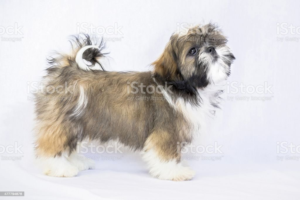 Colored Shih Tzu Puppy Standing Isolated On White Stock Photo More