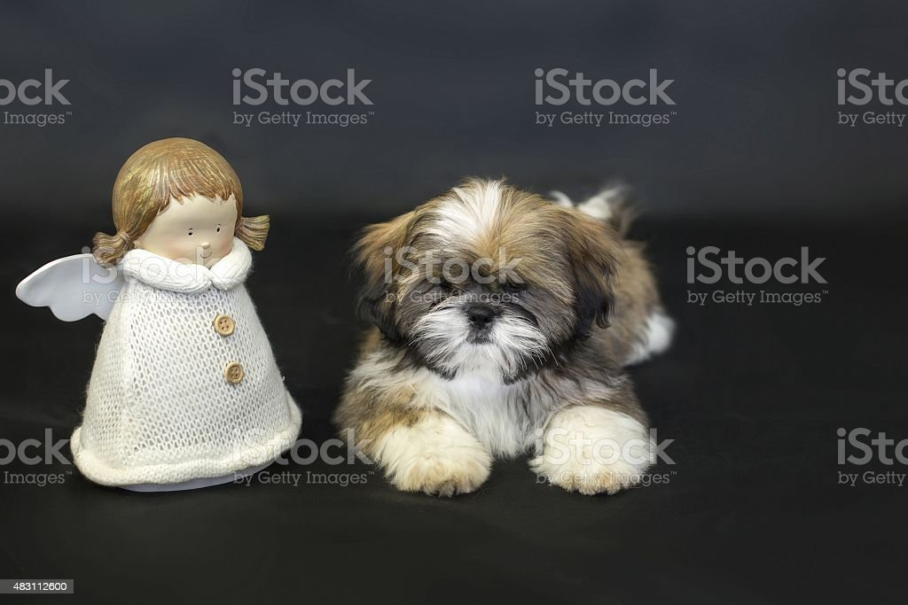 Colored Shih Tzu Puppy With Doll Isolated On Black Stock Photo - Download  Image Now