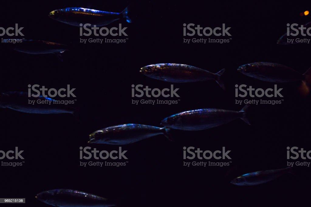 Colored tropical fish in the aquarium zbiór zdjęć royalty-free
