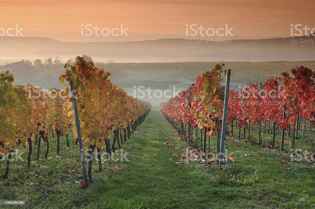 Colored Vineyards at Sunrise Fall Morning royalty-free stock photo