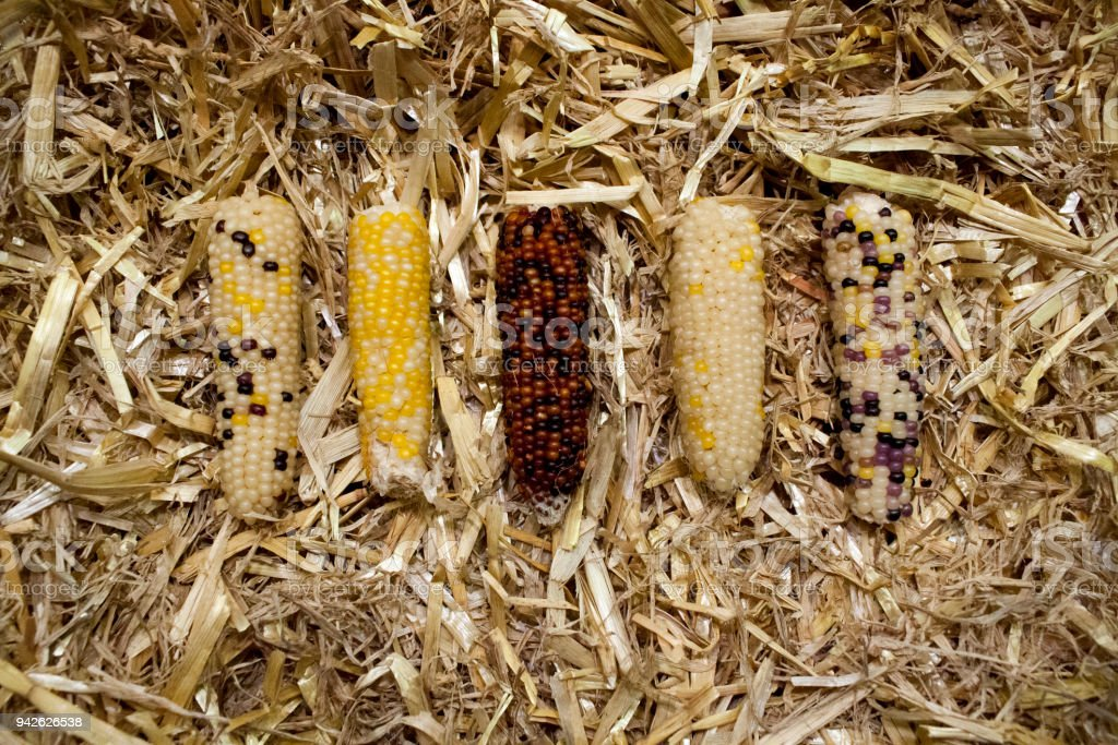 colored_corn_in_straw – Foto