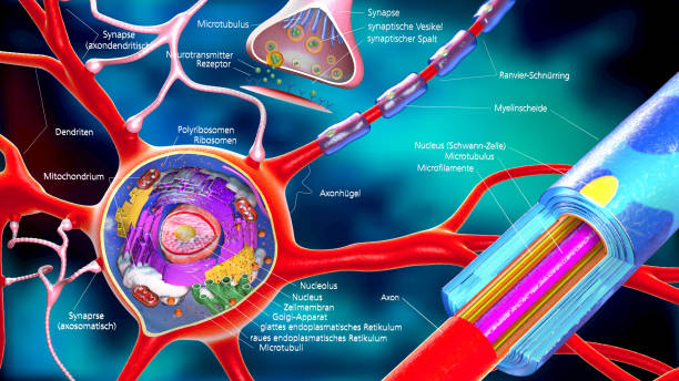colorful 3d illustration of a neuron and cell-building with german descriptions stock photo