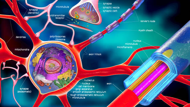 colorful 3d illustration of a neuron and cell-building with descriptions stock photo