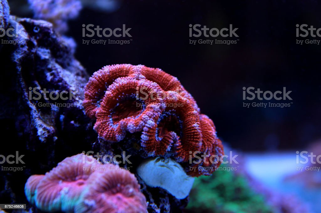 Colorful Acanthastrea LPS coral stock photo