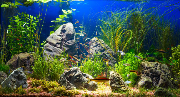 Colorful aquarium in home interior Large planted tropical fresh water aquarium with small fishes in interior freshwater fish stock pictures, royalty-free photos & images