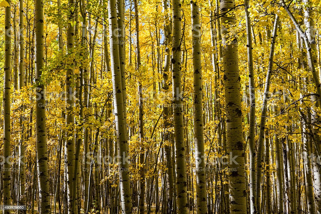 Colorful Aspen Grove stock photo