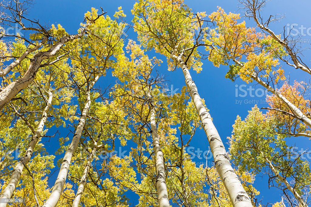 Colorful Aspen Leaves against Blue Sky stock photo