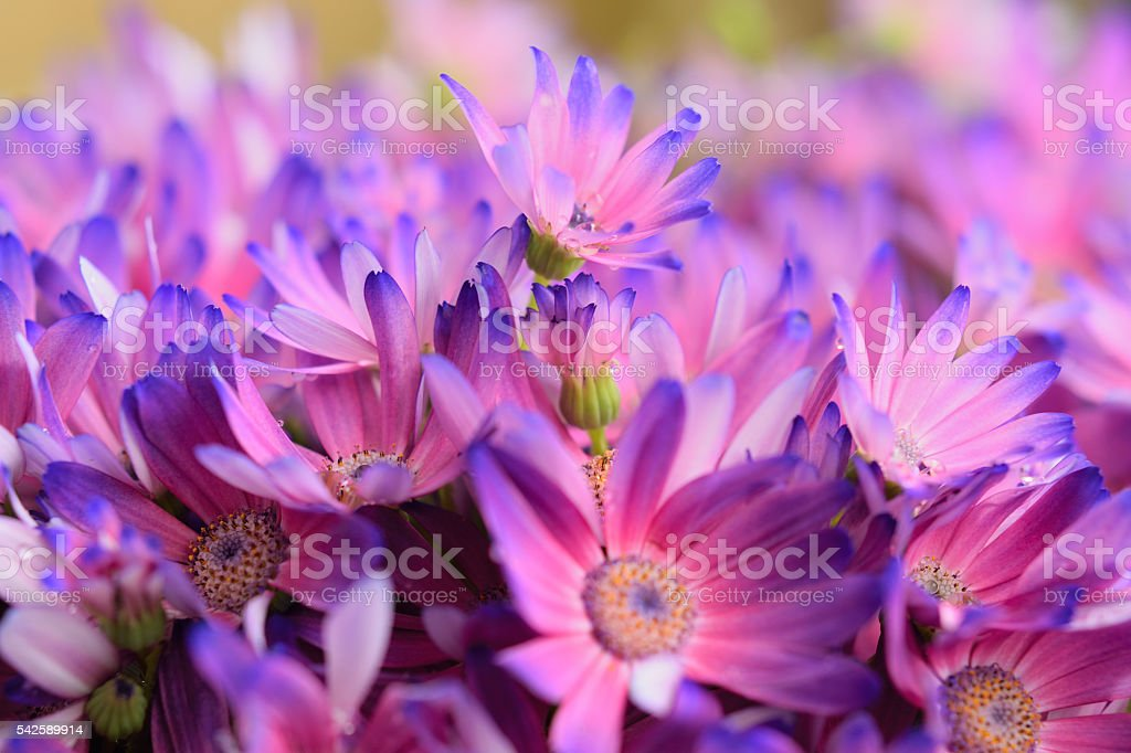 Colorful Aster Flower bed stock photo