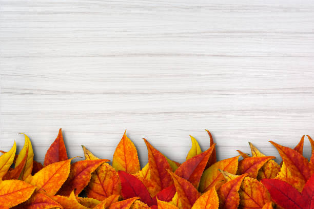 Colorful autimn leaves on white wooden background Dried leaves on a white clean wood board. The leaves colored in yellow, orange and red are piled on making a line in the bottom of the photo. White wooden background is new and clean. It has a clear texture of wood. A wood grain pattern featuring even grains of wood running horizontally across the image. falling stock pictures, royalty-free photos & images