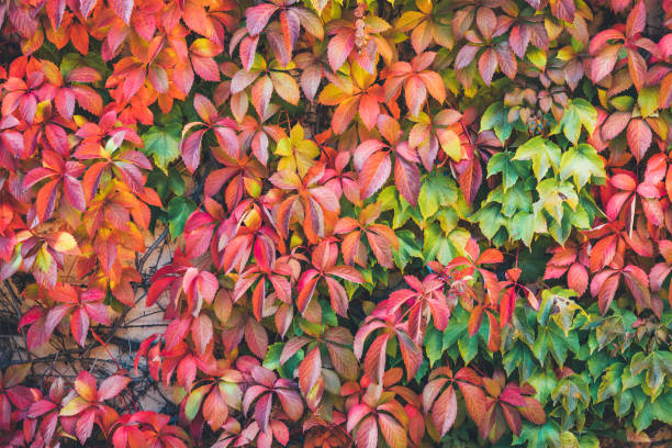 Colorful Autumn Background Colorful autumn background: Virginia creeper plant in autumn (red, orange, green) colors. parthenocissus stock pictures, royalty-free photos & images