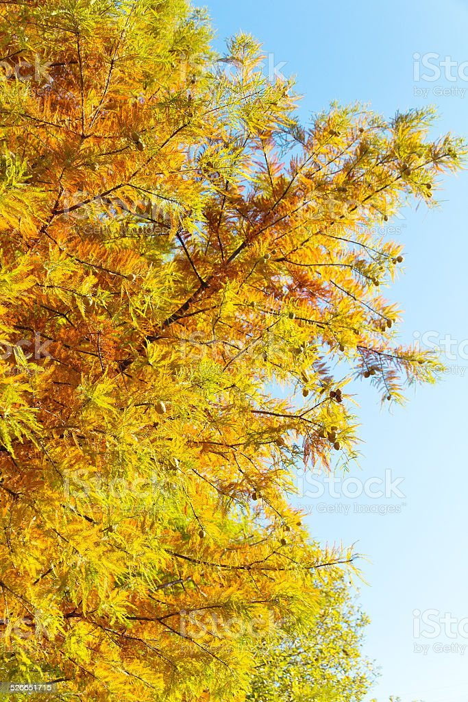 colorful autumn Bald Cypress tree stock photo