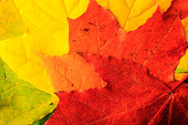 background with colorful  autumn colorful leaves of maple, tinted