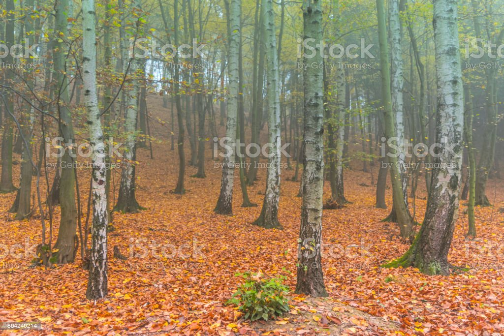 Colorful autumn deciduous forest in light mist royalty-free stock photo