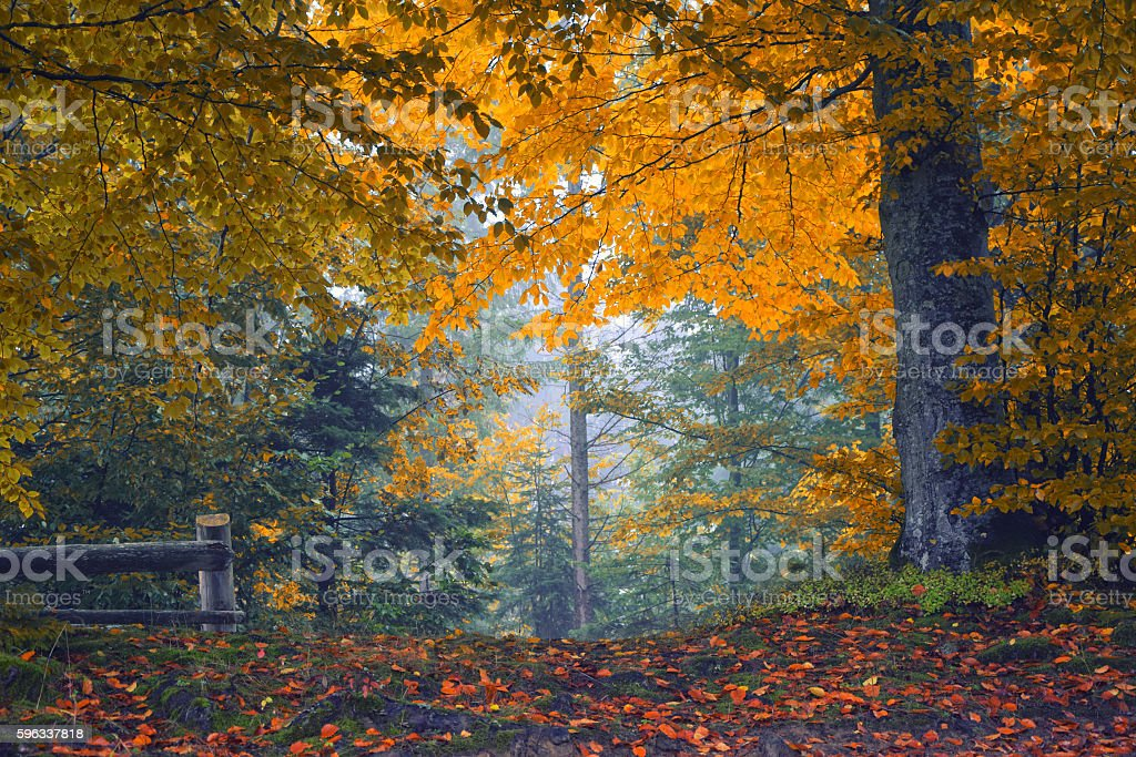 Colorful autumn forest royalty-free stock photo
