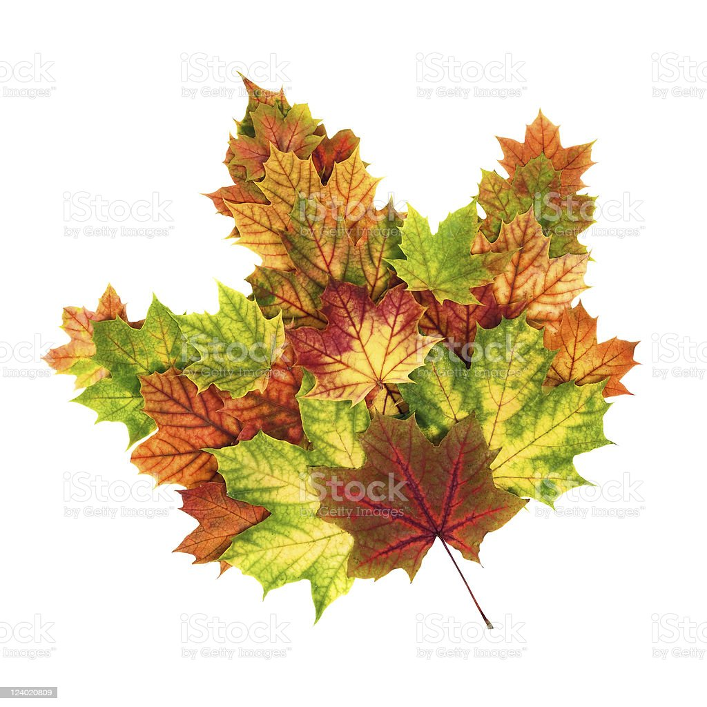 Colorful autumn leaves arranged as a single maple leaf royalty-free stock photo