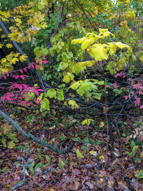 IMG_1954 Colorful autumn leaves in New England stock photo