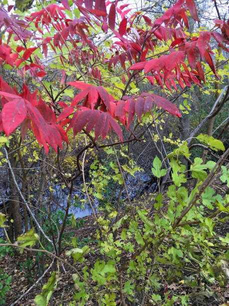 IMG_8749 Colorful autumn leaves in wooded area of New England stock photo