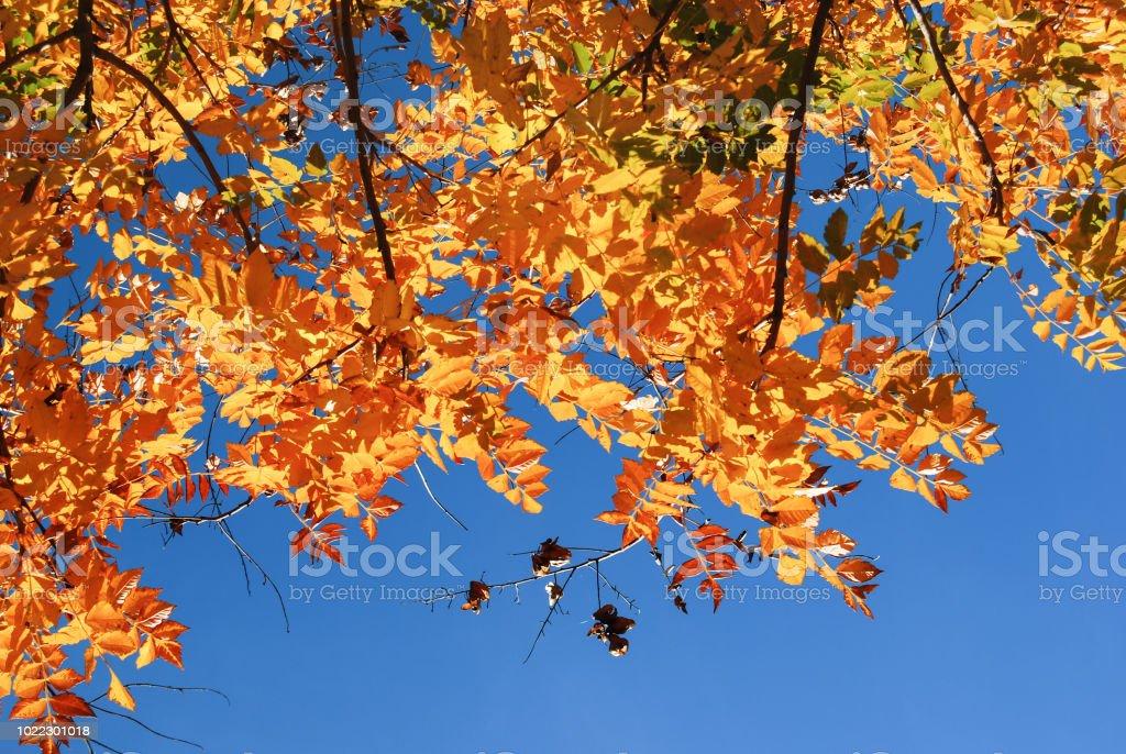 Buntes Herbstlaub von GГ¶tterbaum Altissima im park – Foto