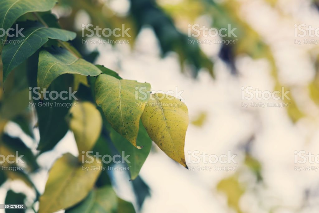 Colorful autumn leaves on the tree. Season wallpaper, postcard background royalty-free stock photo
