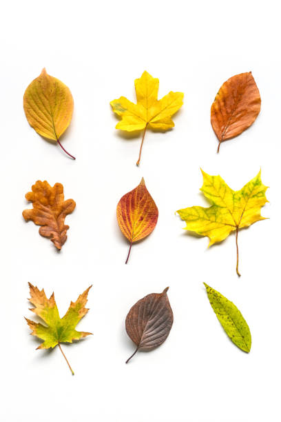 colorful autumn leaves on white background - autumn stock pictures, royalty-free photos & images