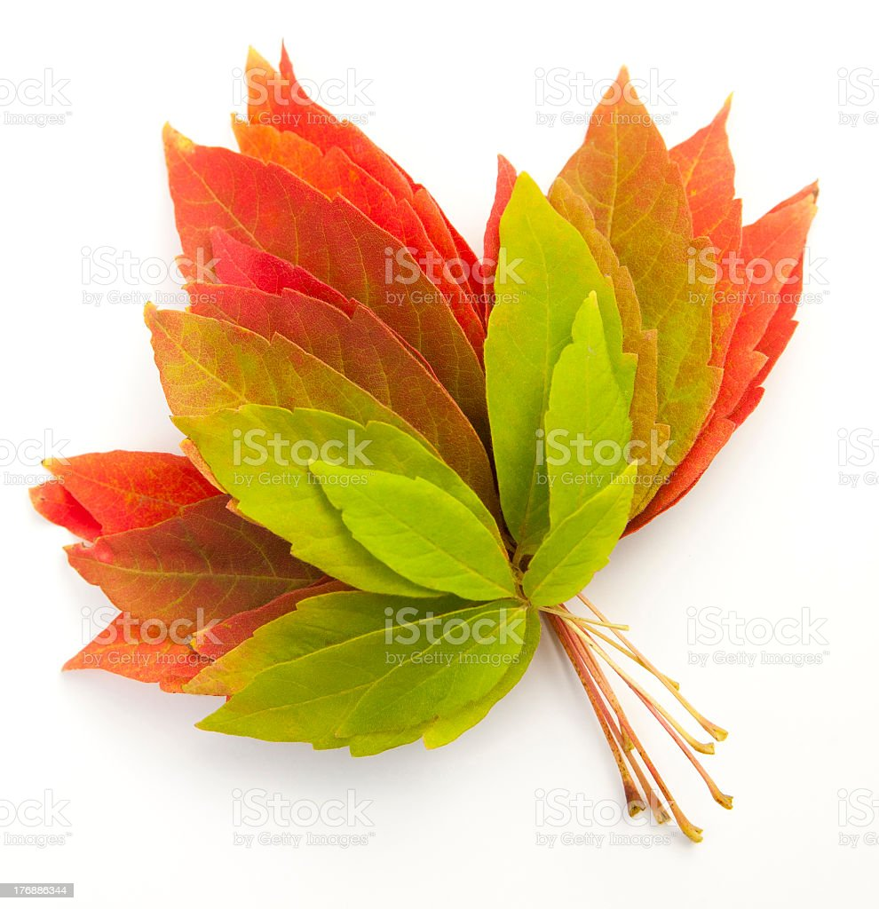 Colorful autumn leaves on white background stock photo