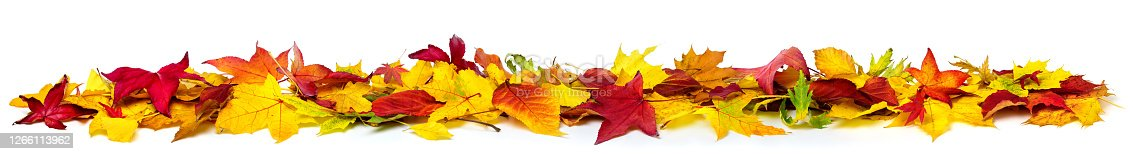 Colorful autumn leaves on the ground as a border, extra wide panorama format with vibrant colors, isolated on white